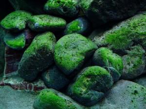 green_algae1-300x225